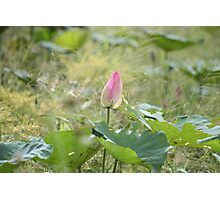 A Lotus Flower Photographic Print