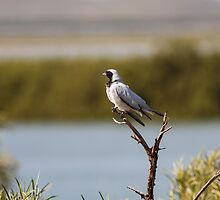 Black Faced Cuckoo-shrike by mncphotography
