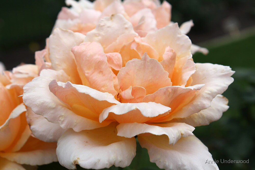 Peach Rose Petals by Annie Underwood