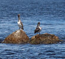 Brown Pelicans by Bob Hardy