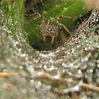 Funnel Wolf Spider & Droplets by Kimberly Chadwick