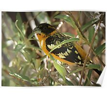 Black-headed Grosbeak (Breeding Male) Poster