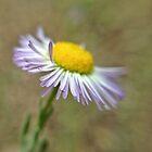 Littlest Daisy by Kevin Bergen
