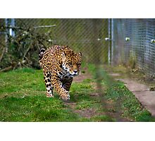 Jaguar Dartmoor Zoo Photographic Print