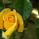 Yellow Rose by Lou Wilson