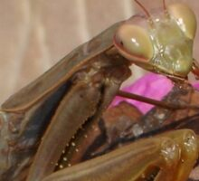Mantis Religiosa: The Praying Mantis Sticker
