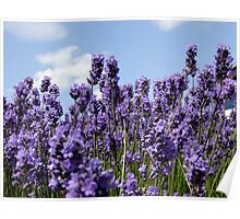 Lavender Reaching for the Sky Poster