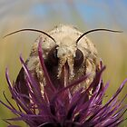 Dusky Sallow Moth Fisheye 01 by Magic-Moments