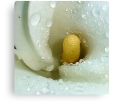 Beautiful Calla Lily Flower Macro with Morning Dew Canvas Print