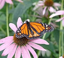 Monarch on a Pink Flower by Brian Schell