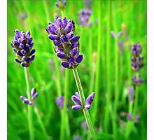 A Little Bit of Lavender in a Sea of Green Photographic Print