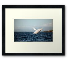Show Off - Migaloo the white whale Framed Print
