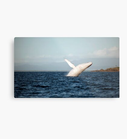 Show Off - Migaloo the white whale Metal Print