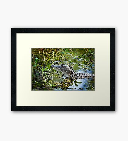 Little Gator  Framed Print