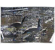 Canada Geese I  Poster