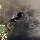 Tufted duck by elsie