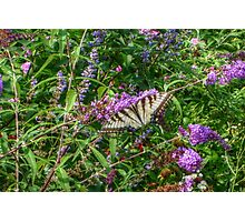 Swallowtail In The Gardens Photographic Print