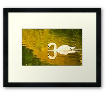 A beautiful Swan with an almost perfect reflection Framed Print