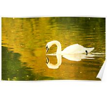 A beautiful Swan with an almost perfect reflection Poster