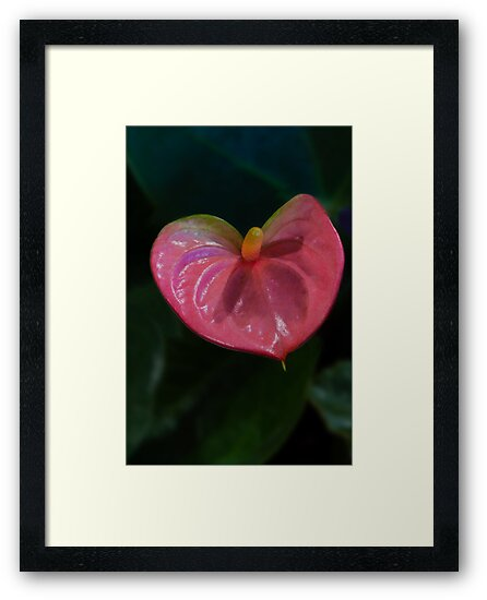 Hawaiian Sweetheart - Pink Anthurium by Sandra Chung