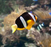 Amphiprion fish-Clown fish by TheSmileEffect