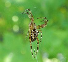 Spider on Web by Martha Medford