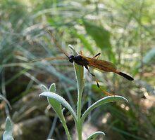 Male Ichneum Wasp by Martha Medford