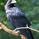 Common Raven (Corvus corax) by DutchLumix