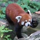 The red panda (Ailurus fulgens) by DutchLumix