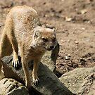 Yellow mongoose (Cynictis penicillata) by DutchLumix