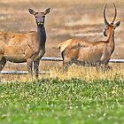 Elk Teamwork by lincolngraham