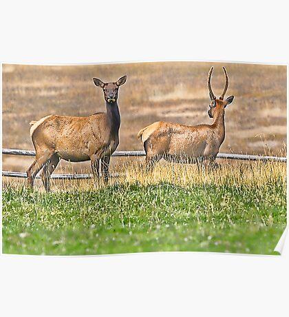 Elk Teamwork Poster