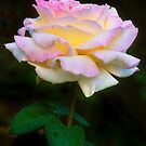 Colorado Summer Shower Rose by Gregory J Summers
