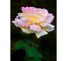 Colorado Summer Shower Rose Photographic Print