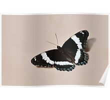 White Admiral - Butterfly Poster