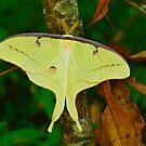 Luna Moth by Kathy Baccari