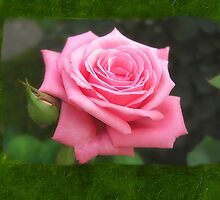 Pink Roses in Anzures 4 Blank P1F0 by Christopher Johnson