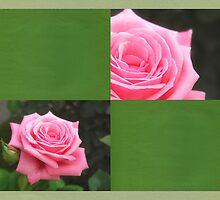 Pink Roses in Anzures 4 Blank Q5F0 by Christopher Johnson
