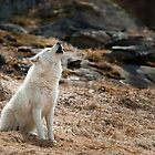 Howling Arctic Wolf by WolvesOnly