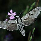 Pine Hawk-moth feeding from flowers at dusk, Bulgaria by Michael Field