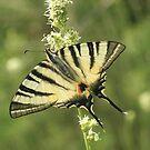 Butterflies of Bulgaria in Summer by Michael Field