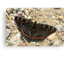 Poplar Admiral butterfly on mountain path, Bulgaria Canvas Print