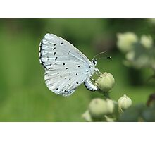 Holly Blue butterfly on bramble flowers, bulgaria Photographic Print