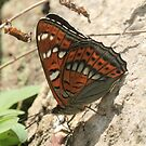 Poplar Admiral Butterfly on mountain stones, Rila Mountains Bulgaria by Michael Field