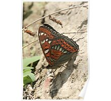 Poplar Admiral Butterfly on mountain stones, Rila Mountains Bulgaria Poster