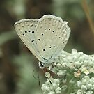 Meleager's Blue Butterfly on white flowers, Bulgaria by Michael Field