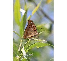 Lesser Purple Emperor butterfly, Rila Mountains, Bulgaria Photographic Print