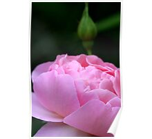 Rose with Bud Poster