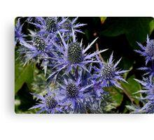 Blue Thistle (Eryngium) Canvas Print