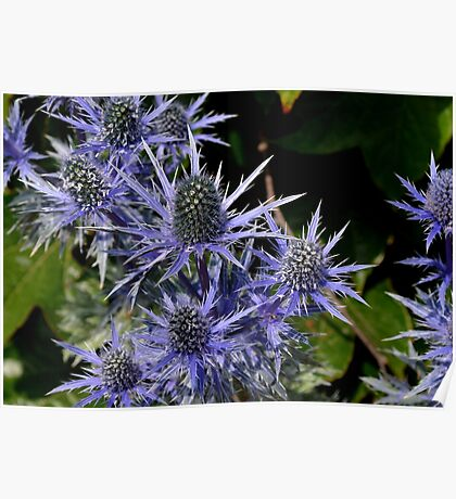 Blue Thistle (Eryngium) Poster